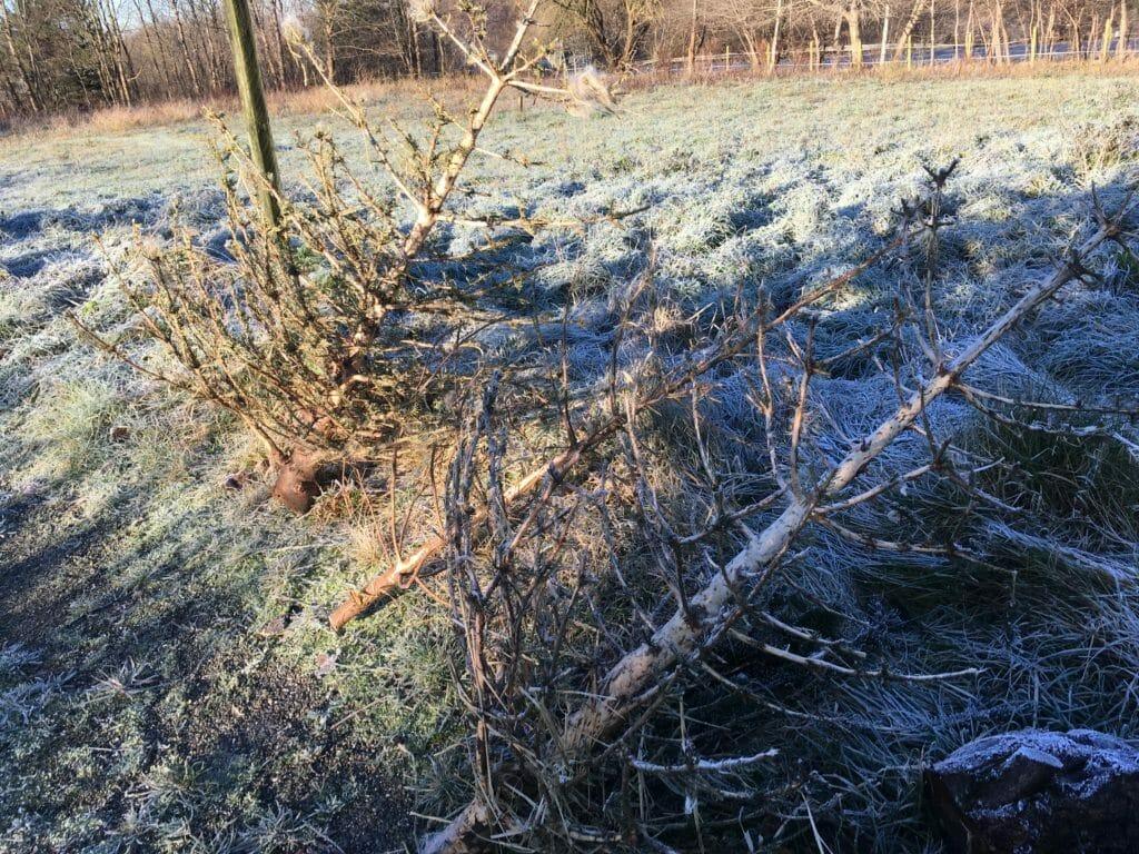 får juletræer afbarkede