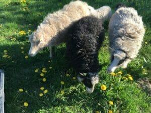 får græs mælkebøtter lam