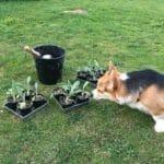 hund dufter til artiskokker