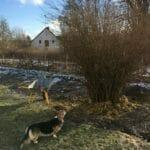 hund kigger på busk