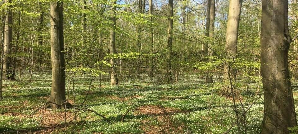 Bøgeskov skovanemoner forår