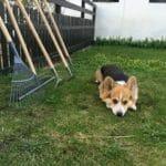 Hund dækker på grænplæne