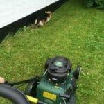 Hund klipper græs