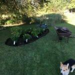 Hund foran hortensia bed
