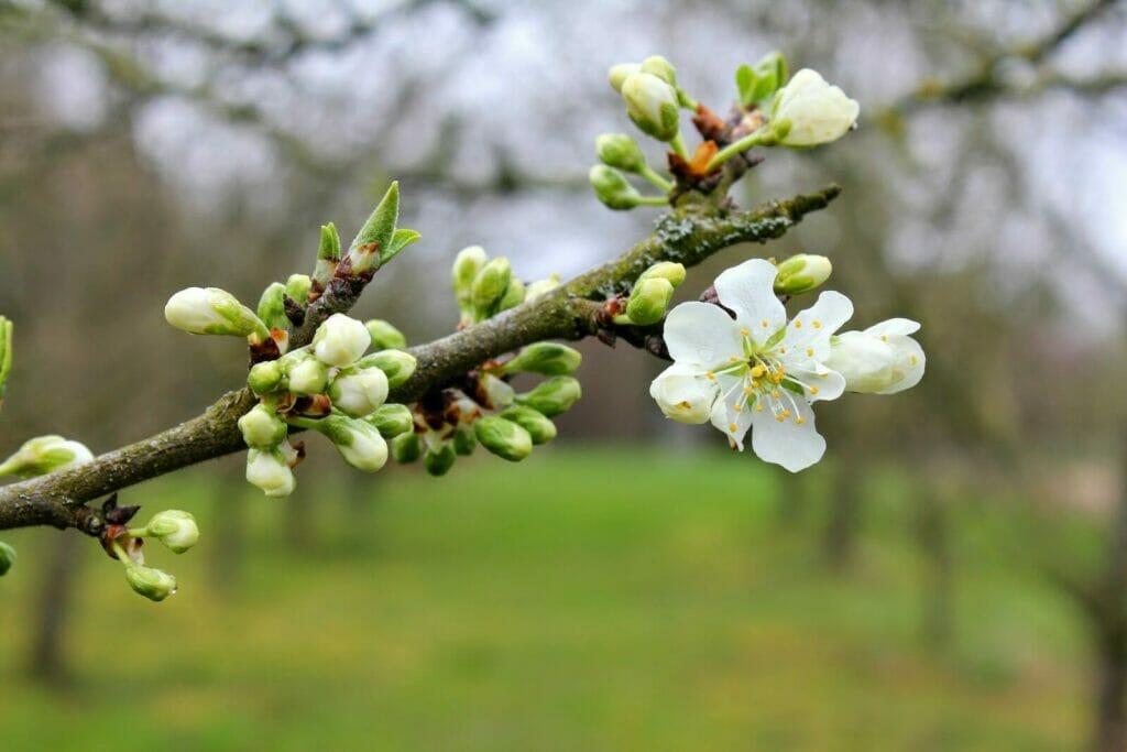 Blomst æble frugthave