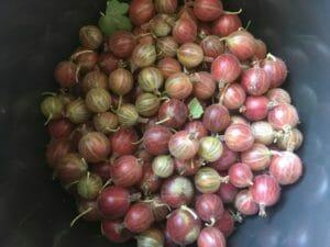 stikkelsbær røde grønne