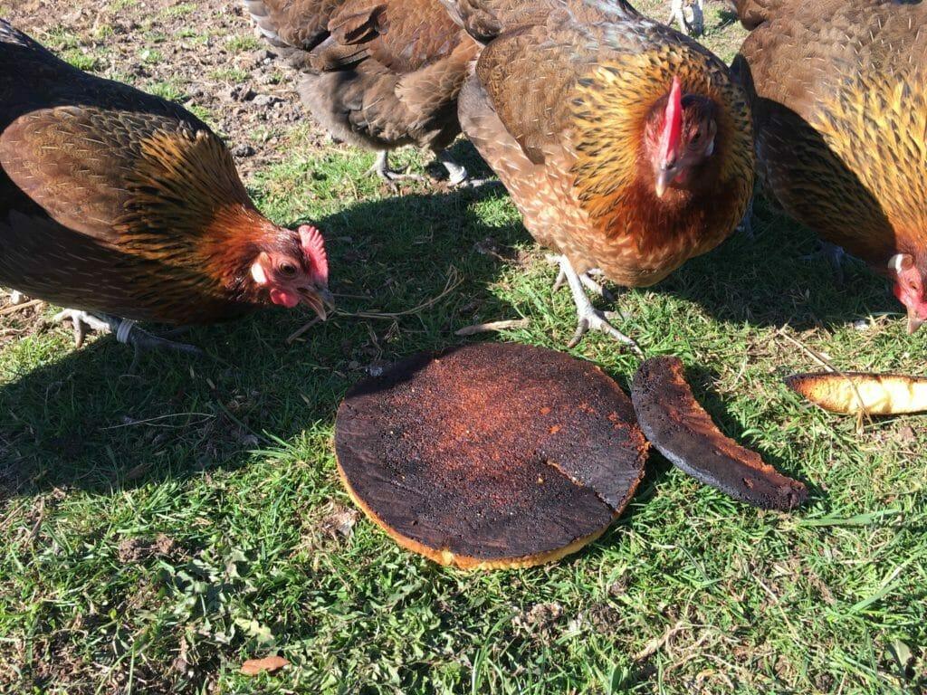 høns lagkage fodring