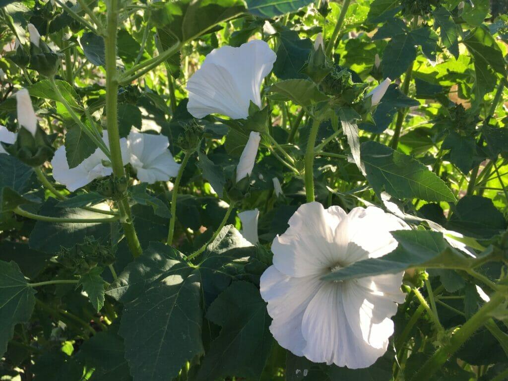 hvide mamelukker blomster