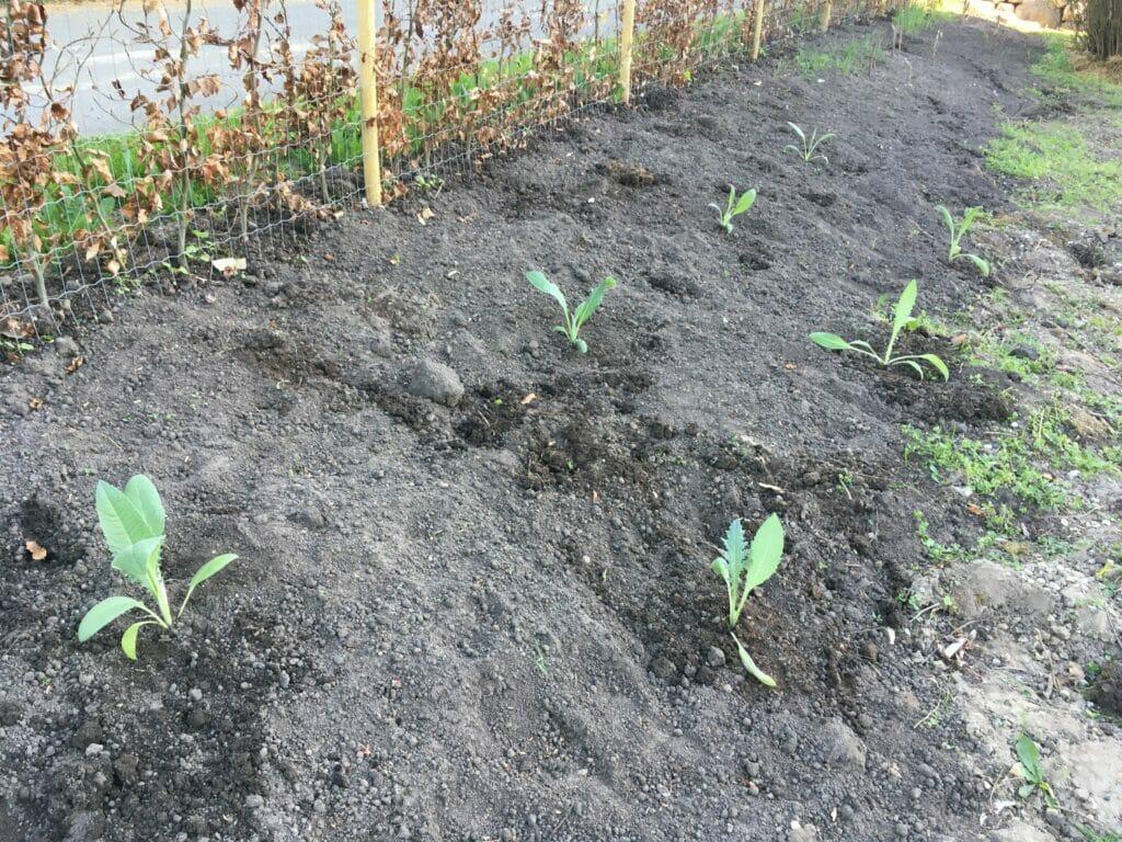 plantning artiskok dyrkning