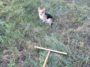 hund rive græs