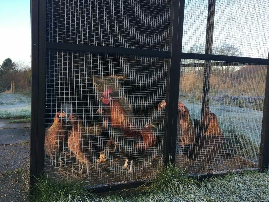 høns hane hønsegård