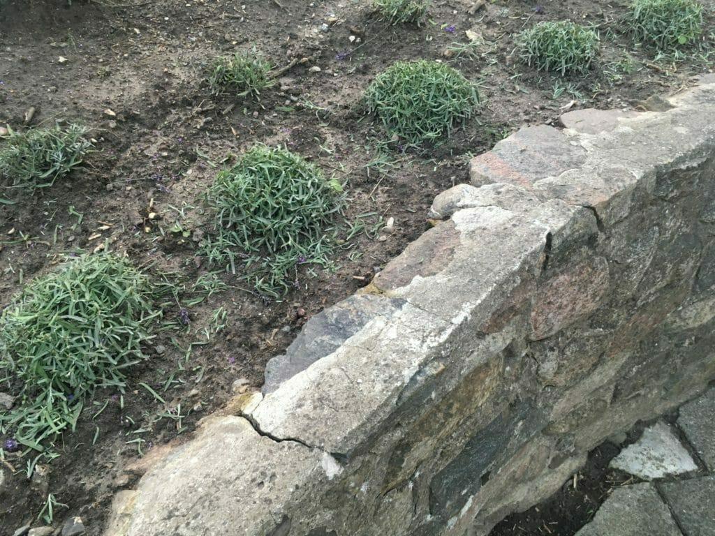 lavendel klippet busk