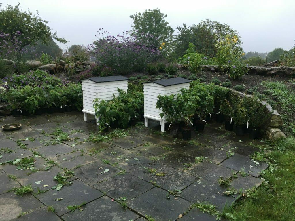 Bærhave bærbuske regnvejr