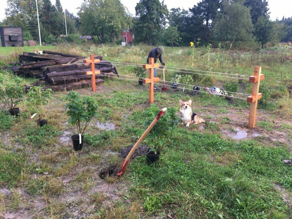 bærbuske bærhave regnvejr vandpyt hund