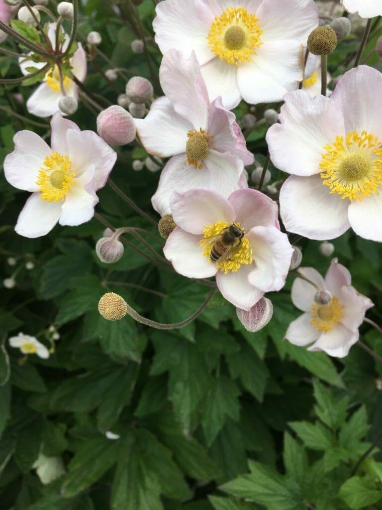 høstanemone blomst bi