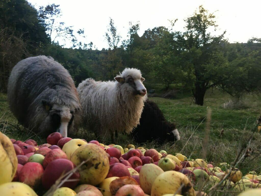 æbler med orm får æblehøst