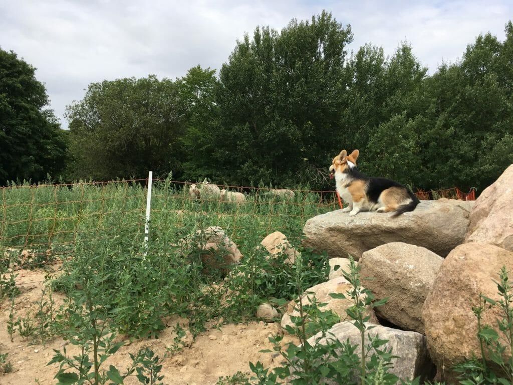 Hyrdehund får indhegning