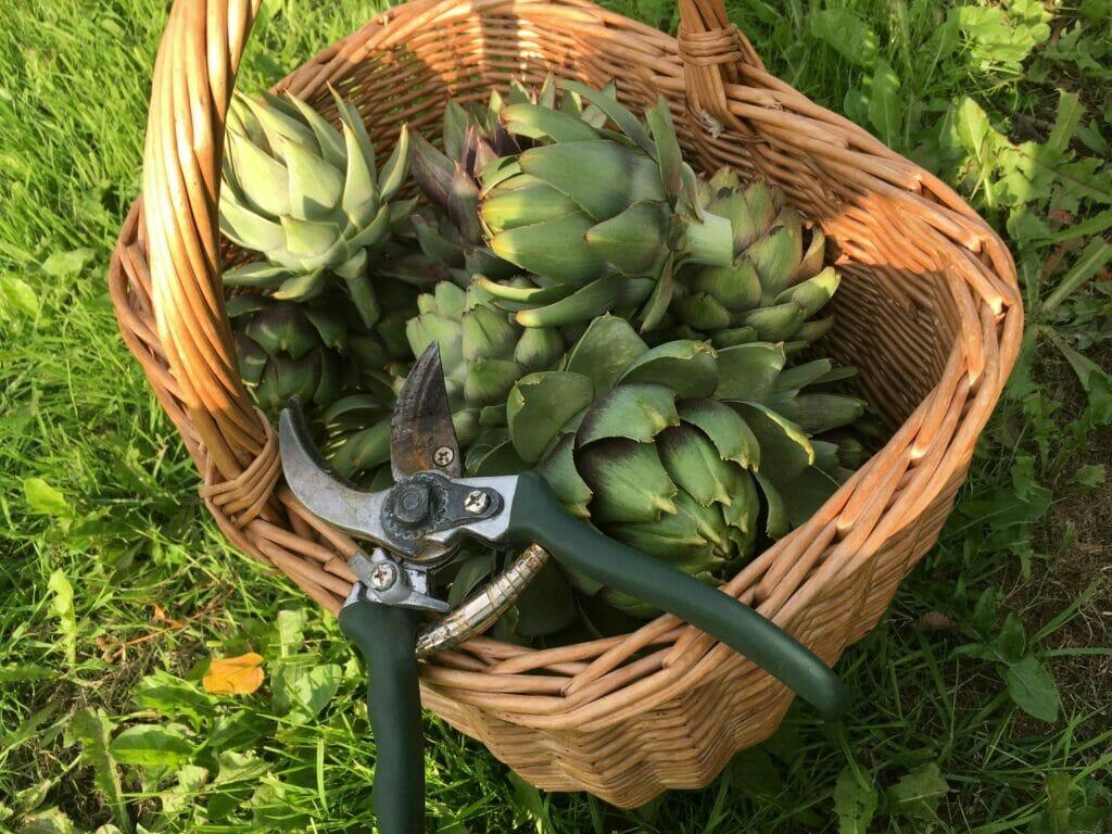 artiskok høstede hjemmedyrkede