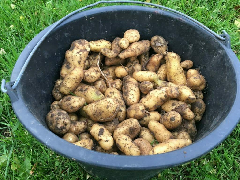 asparges kartofler vinteropbevaring