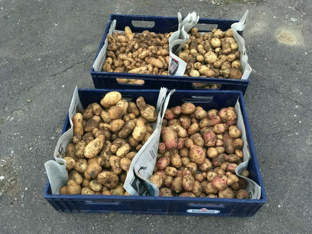 vinteropbevaring af kartofler