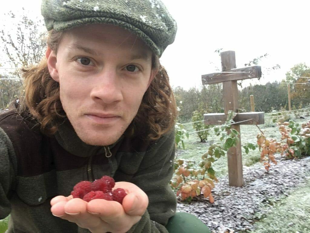 Hindbær friskplukkede hindbærbuske