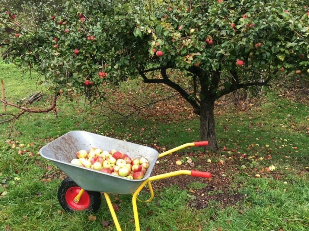 æbler æbletræ trillebør