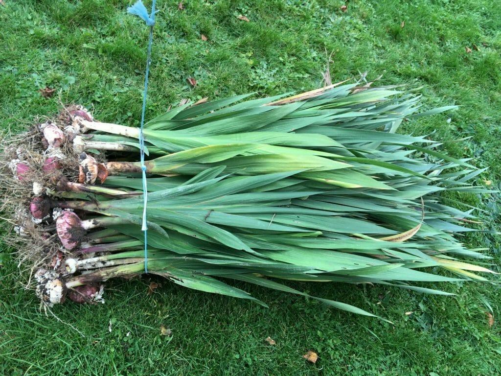 Gladiolus bundtet vinteropbevaring