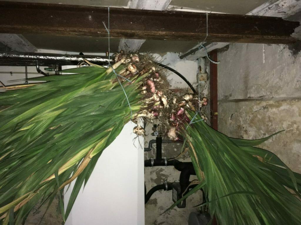 Vinteropbevaring Gladiolus tørring