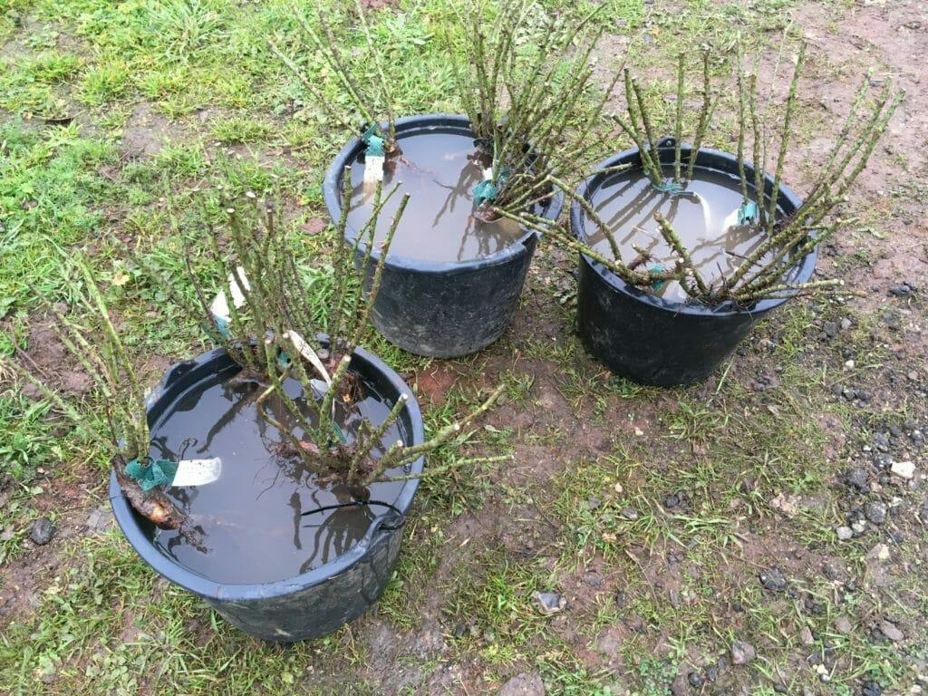 barrodsroser roser vanding plantning