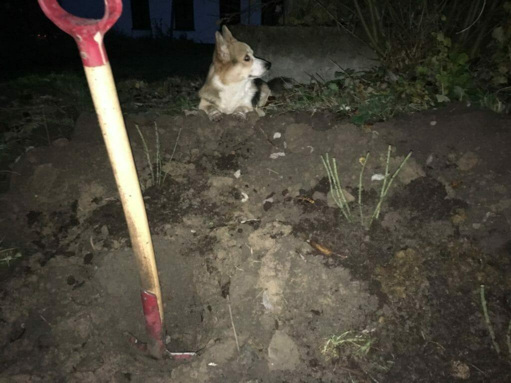 Roser planting barrodsroser