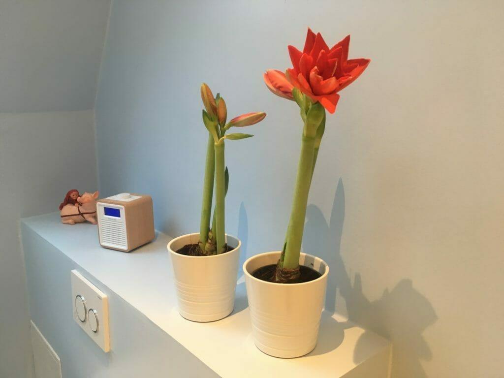 amarylis løg blomst amaryllis