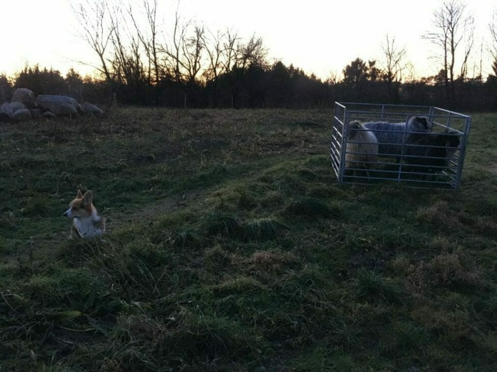 flytning af får stald vinterstald transport