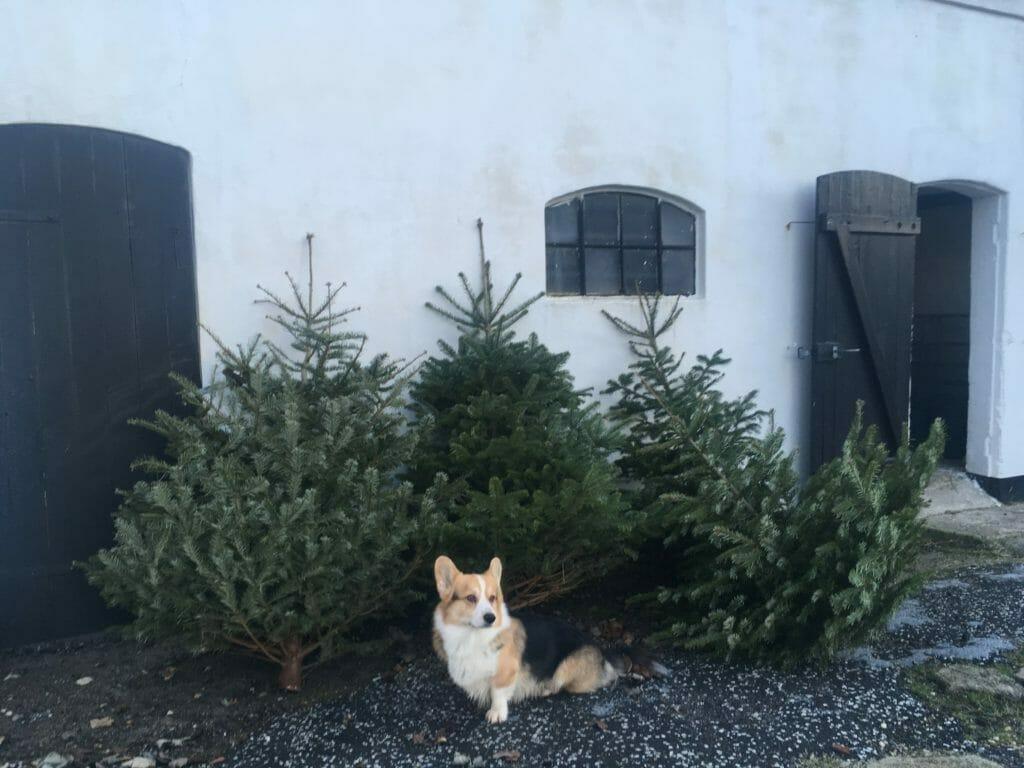 Juletræer foder får