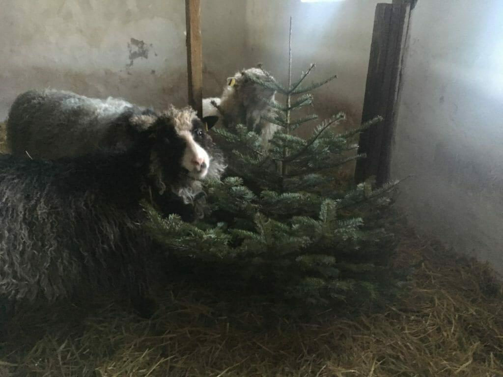 juletræer får fodring