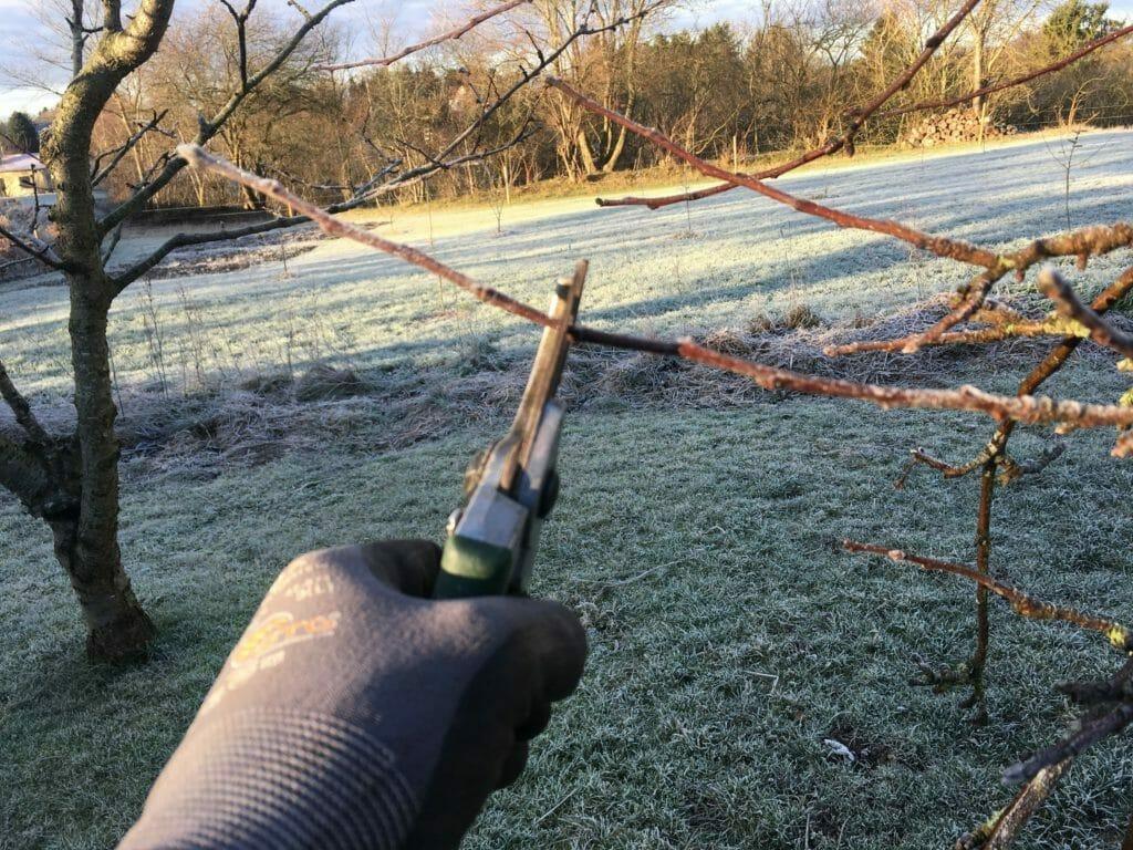 beskæring vinter æbletræ