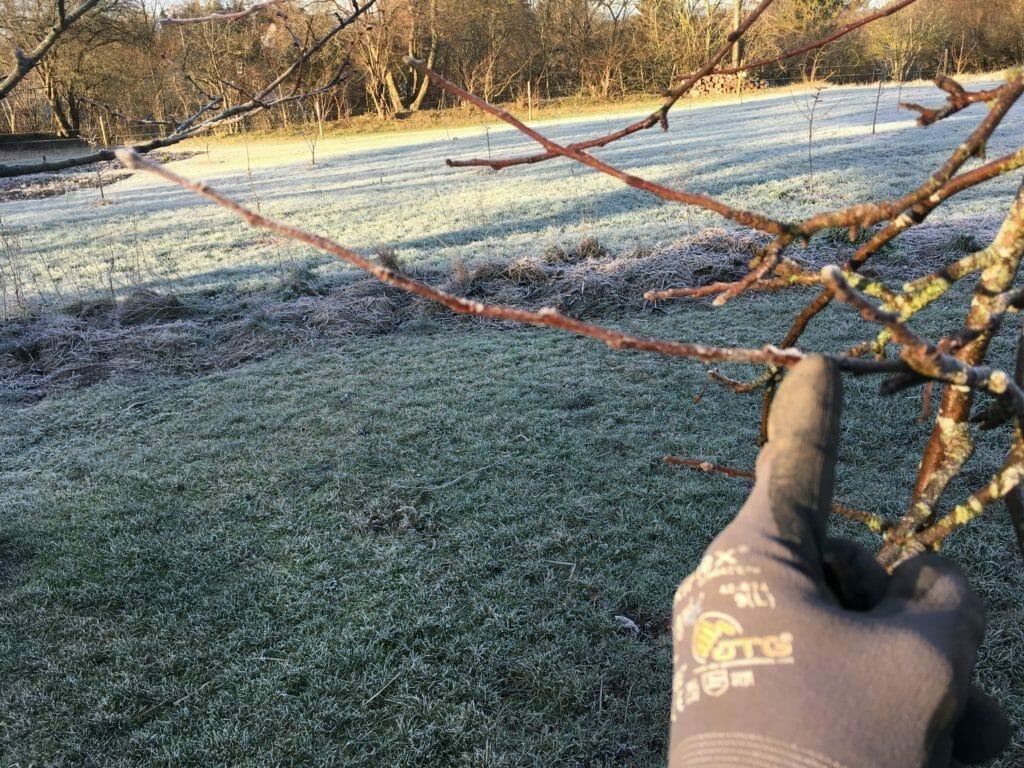 æbletræ beskæring frostvejr