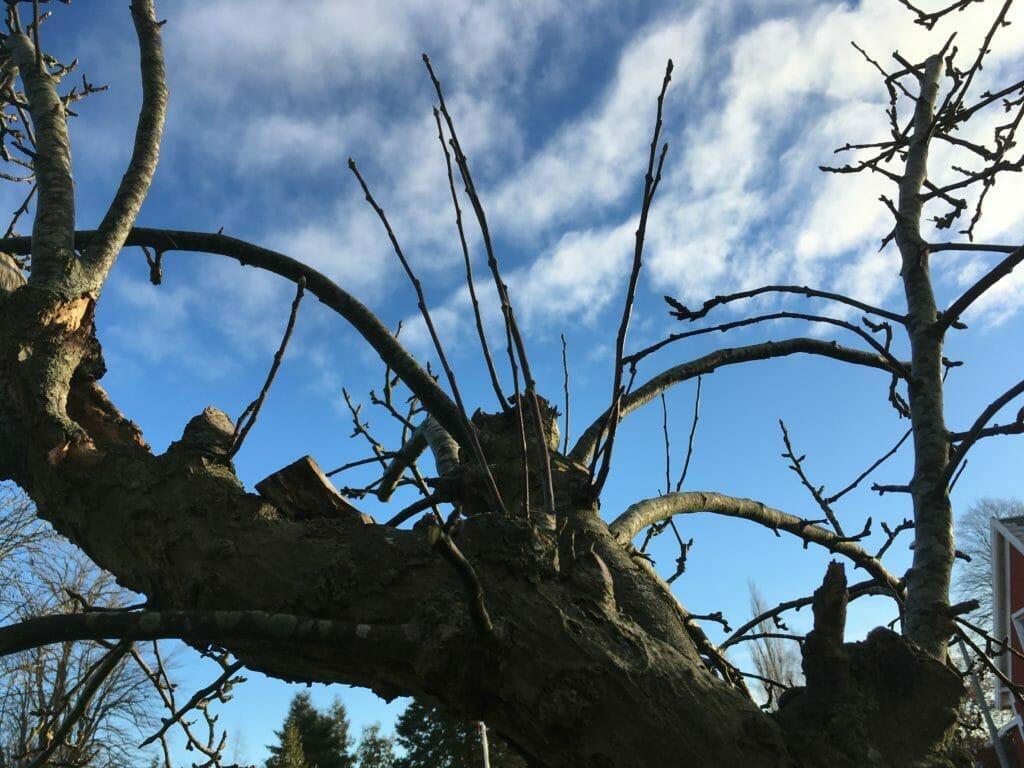 Beskæring frugtræer lodrette grene