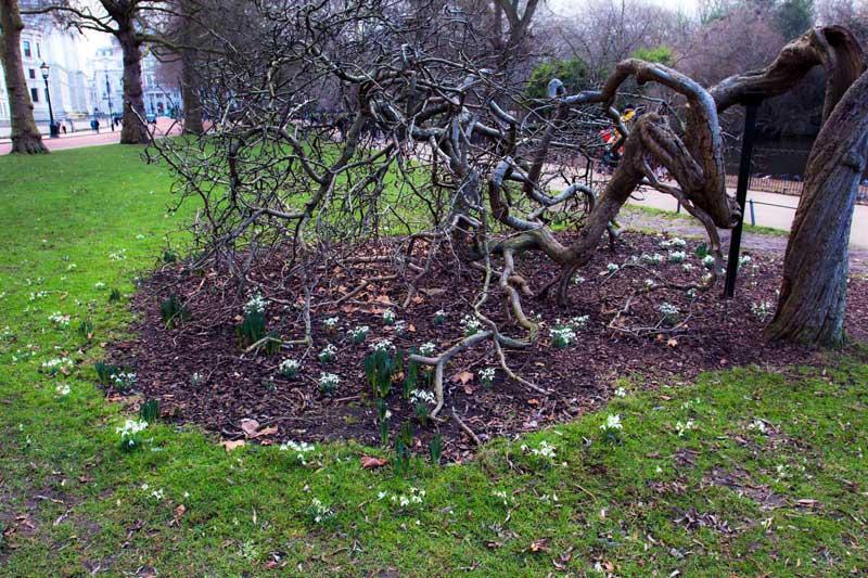 tidlig forårsblomst vintergækker st. james park london