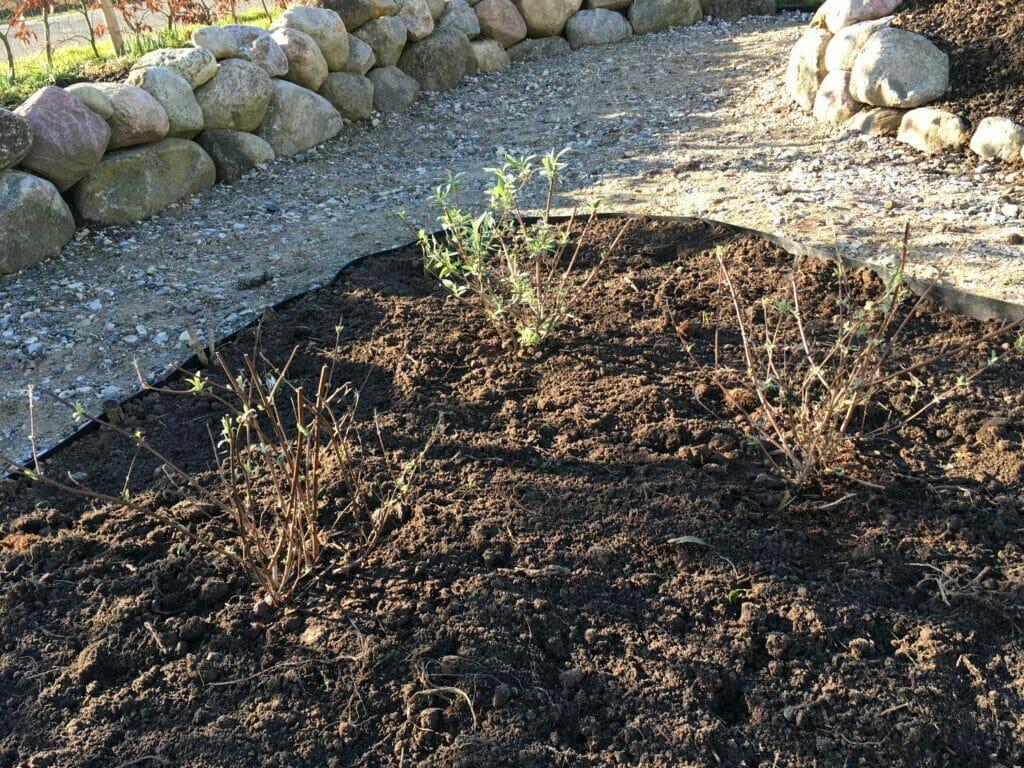 plantning lilla sommerfulgebusk