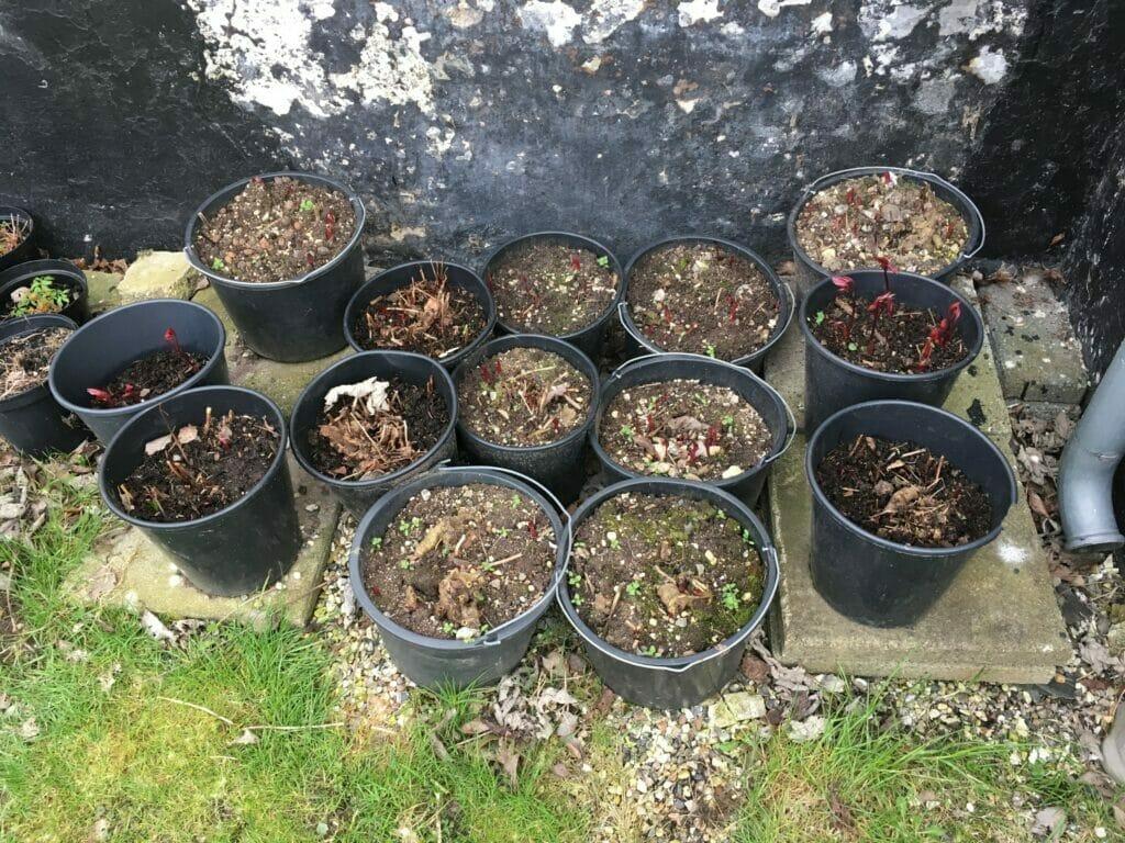 gødning til pæoner pæon krukke plantning