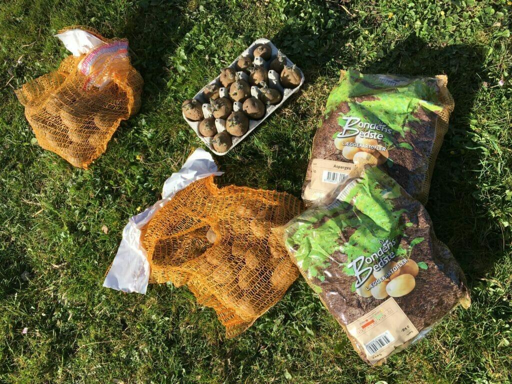 læggekartofler dyrkning af kartofler