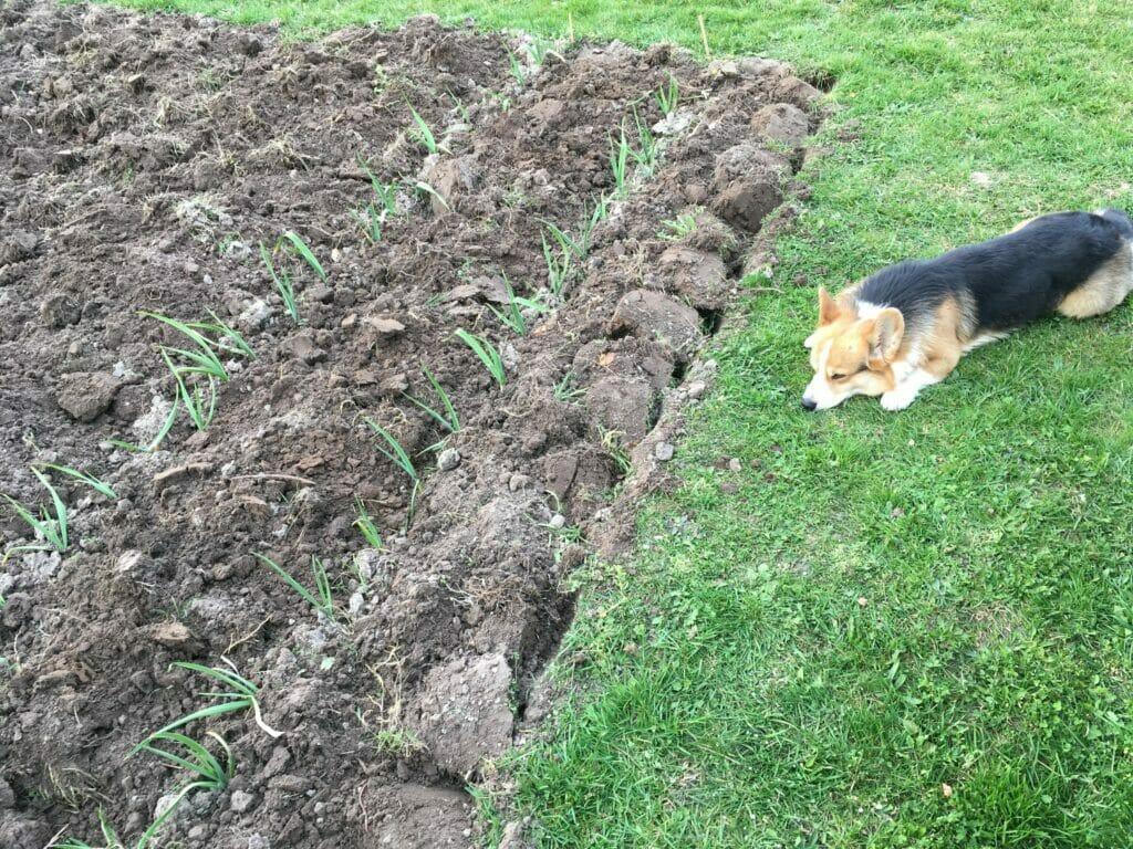 dyrkning hvidløg køkkenhave