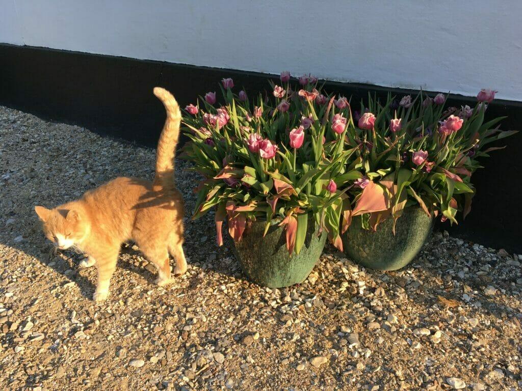 tulipaner krukker