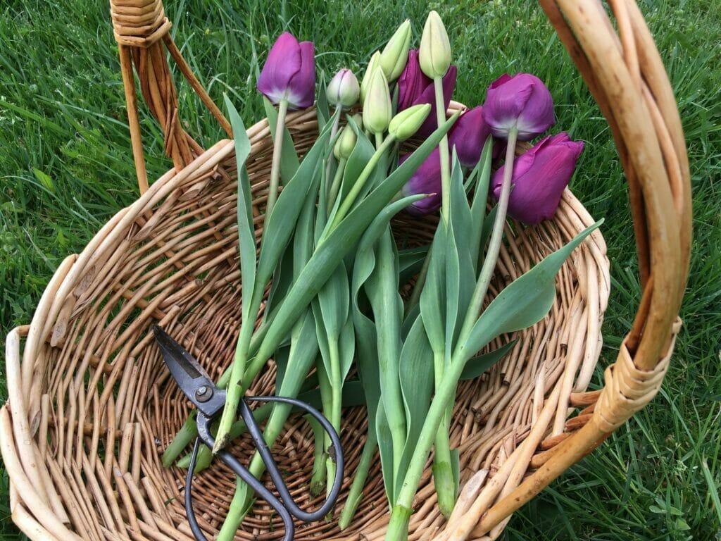 tulipaner buketter