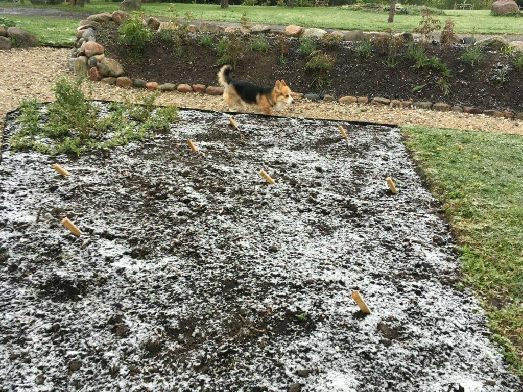 sne i maj snevejr frostvejr