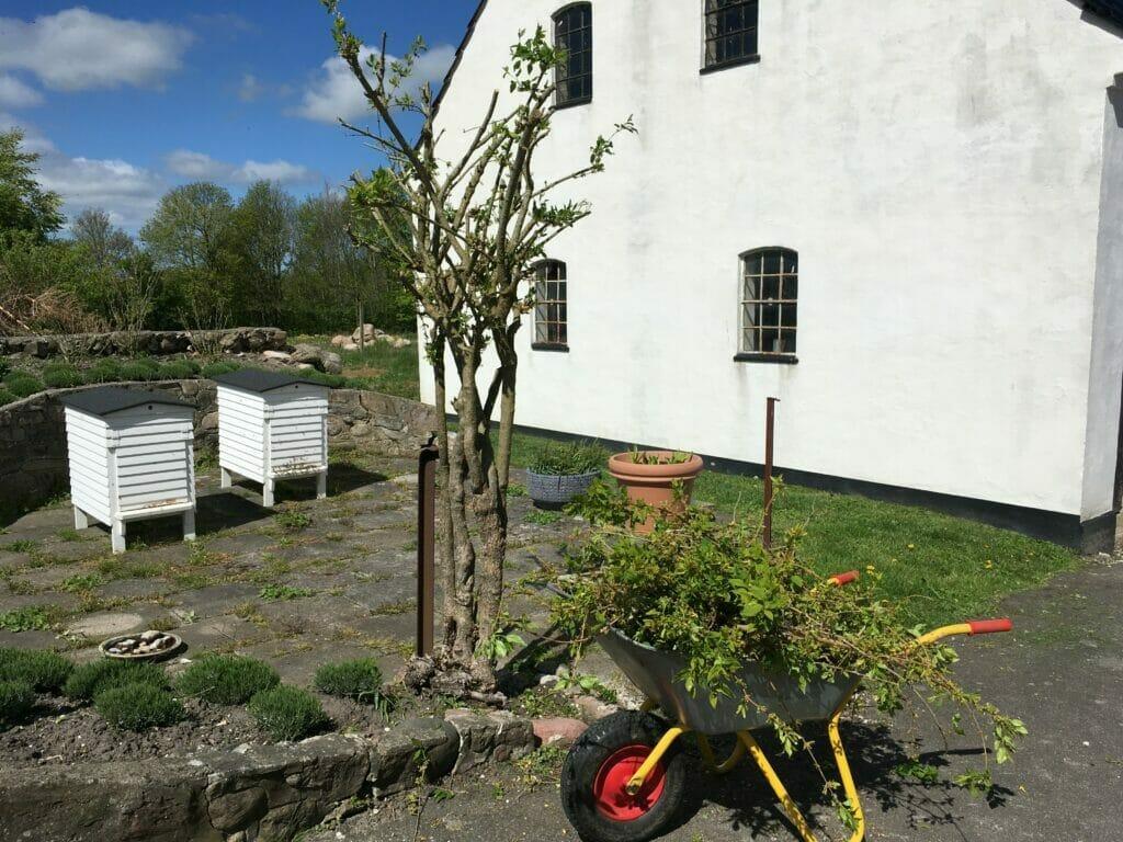 forsythia busk træ beskæring