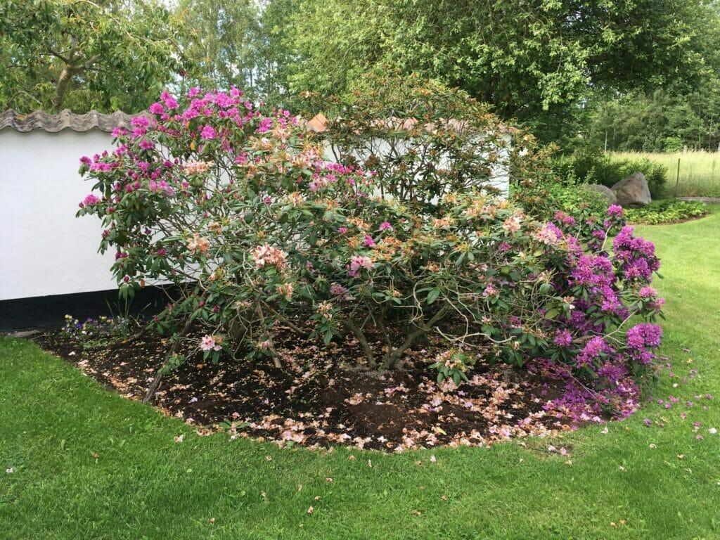 pleje af rhododendron