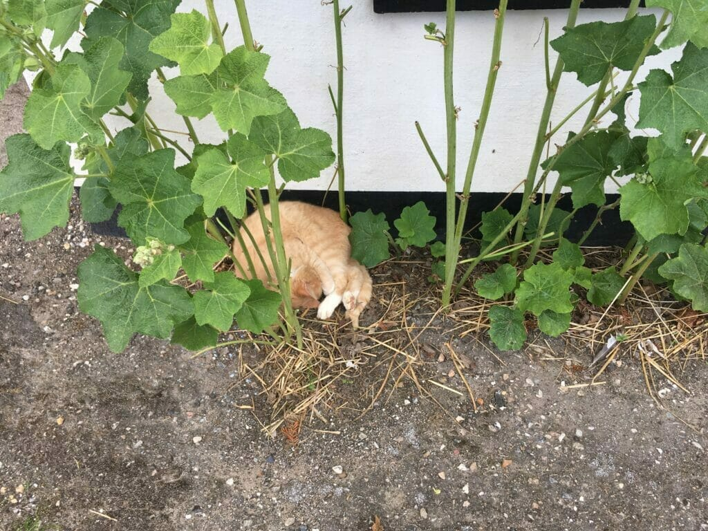stokroser kat sover gårdsplads bondegård