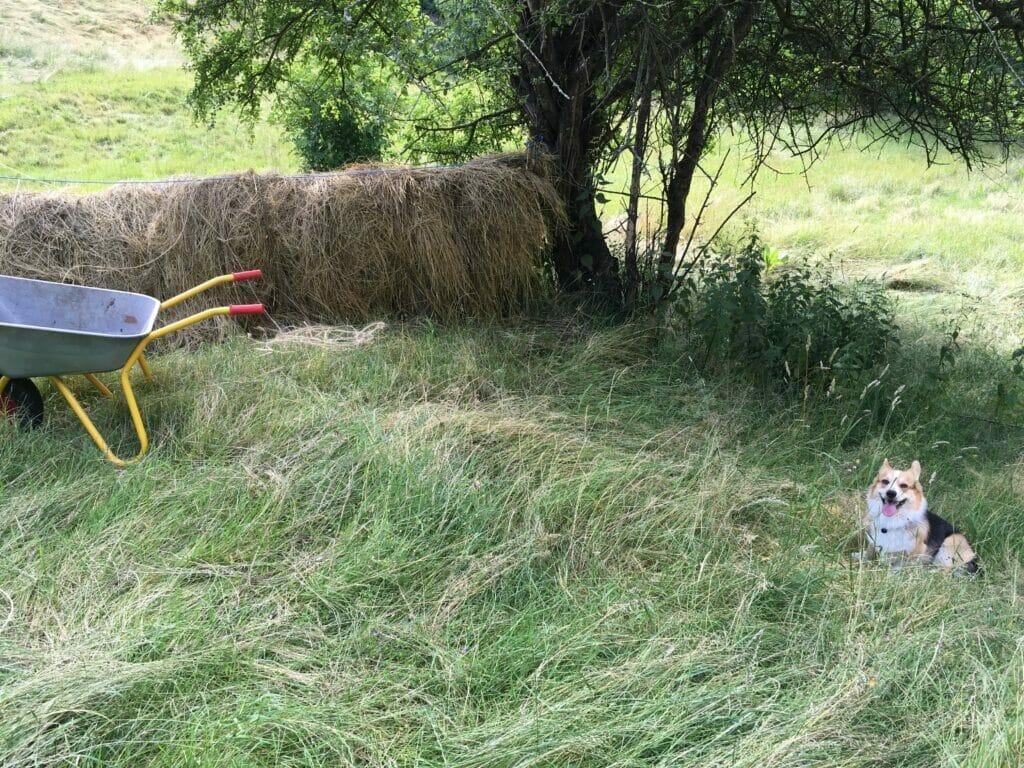Tørring af hø mark høhæk