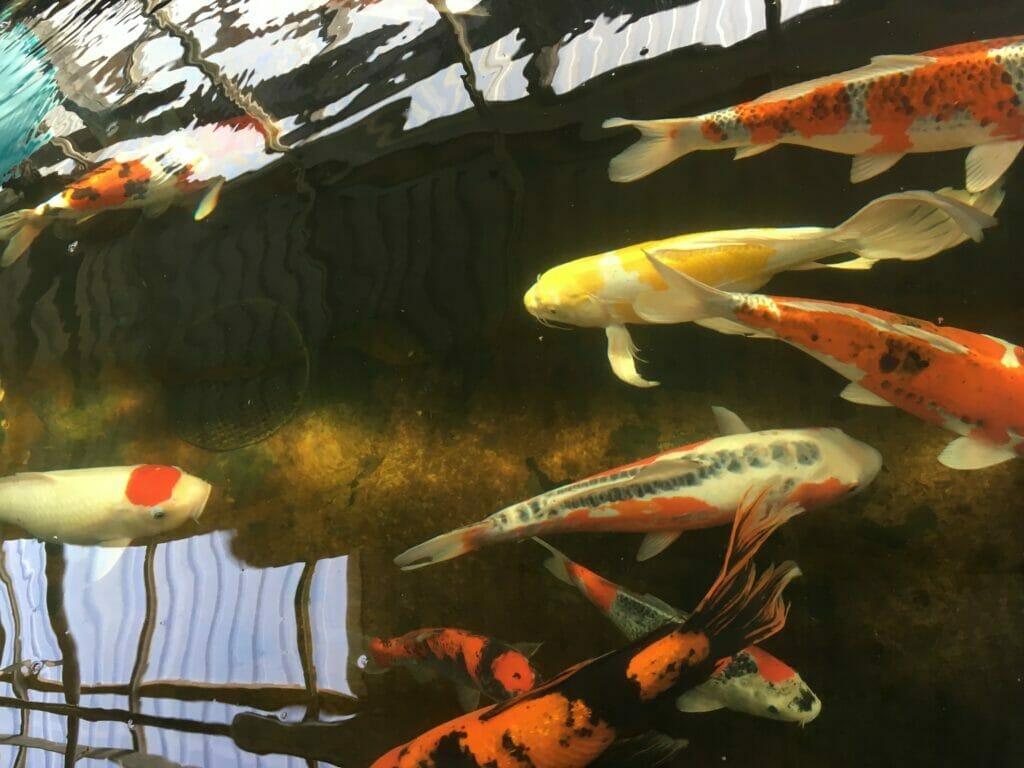 fisk til havedam